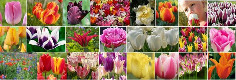 collage-tulipani-800x273