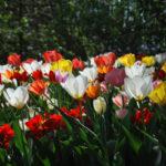CASTELLO DI PRALORMO_Messer Tulipano 24