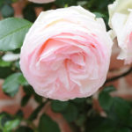 MT2018_Rose-del-parco_Rosa Pierre de Ronsard